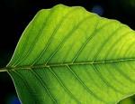 La foglia artificiale produce energia pulita scindendo le molecole di idrogeno e ossigeno