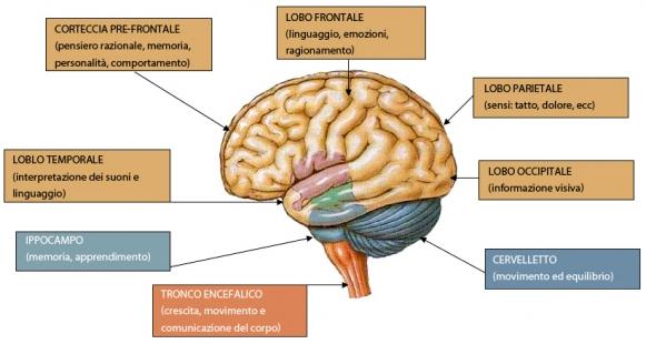 Cervello: i lobi