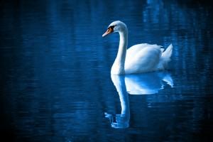 blu calma serenità lago cigno