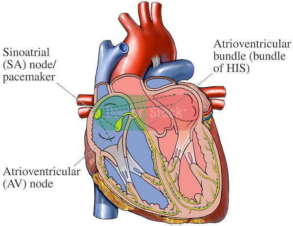 Figura 1: Il nodo senoatriale, responsabile della generazione dell'impulso elettrico.