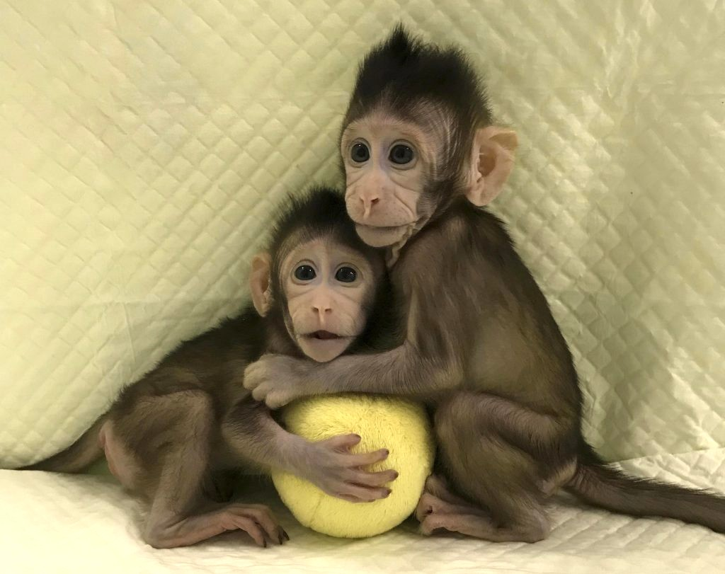 Figura 4: le due scimmiette Zhong Zhong e Hua Hua, clonate dall'uomo